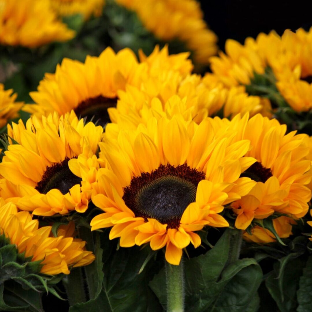 yellow-sunflowers-54267